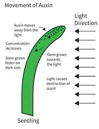 how does light affect plant growth what are plant auxins and how do they affect plant growth