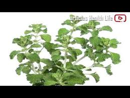 horehound candy where to buy 10 impressive benefits of white horehound