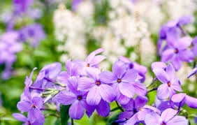 Fragrant Flowers For Garden - the 60 most fragrant flowers across the world rodale u0027s organic life