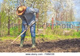 man hoeing vegetable garden soil new growth season on organic