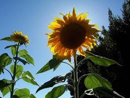 grow sunflowers in garden seeds the old farmer u0027s almanac