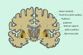 Thalamus Part Of The Brain Chapter 3 Magnetic Resonance Imaging Of Brain Function