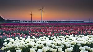 tulip field wallpaper feelgrafix com pinterest field