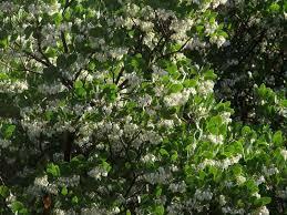 manzanita trees arctostaphylos manzanita dr hurd manzanita tree