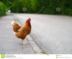 chicken hen on the road stock photo image 53784474