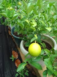 anyone growing lemons in containers trees forum at permies