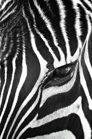 56 best black white photography images on pinterest canvas zebra stare canvas wall art by bob larson