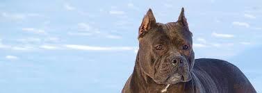 Seeking Pitbull Blue Pitbulls For Sale Pitbull Puppies Blue Nose Pitbull Kennel