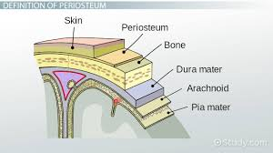 periosteum of bone definition u0026 function video u0026 lesson