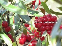 edible fruits buffaloberry seeds edible fruits shepherdia argentea