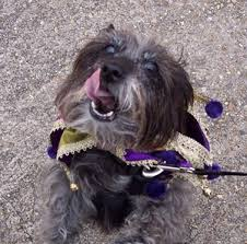affenpinscher terrier mix terrier mix photos thriftyfun