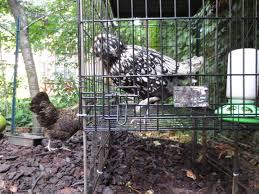 backyard chickens brooklyn feed