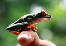 learn about nature eyed tree frog learn about nature