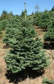 3 5 to 4 ft noble fir tree green valley tree