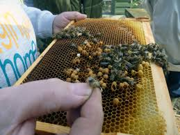 bailey comb change for spring bees mrs apis mellifera