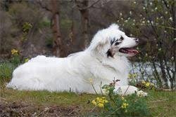 double j australian shepherds paw print genetics double j dog ranch a special place for