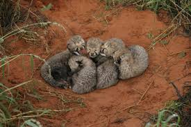 big cats co exist study challenges lion threat to cheetah cubs