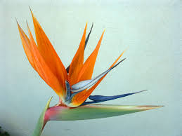 bird of paradise flower bird of paradise flower macdonald s