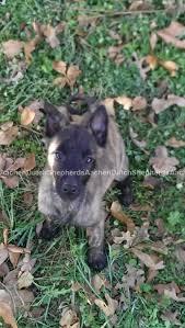 belgian shepherd oregon dutch shepherd puppies for sale aachen dutch shepherds
