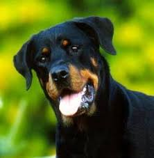 some helpful tips for living with a dog with ibd rottweiler club