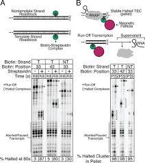 distributed biotin u2013streptavidin transcription roadblocks for