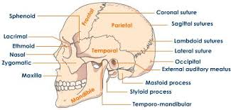 Parts Of Ethmoid Bone Skull Structure Of Skull Tutorvista Com