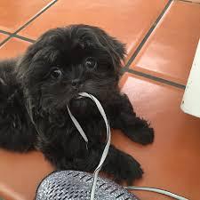 affenpinscher joey shih tzu puppies for sale shih tzu breeder akc