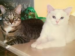 cats maine coon u0026 tabby mix bonded gizmo u0026 gidget pet re