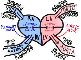 easy way to remember the most common cause of right sided heart