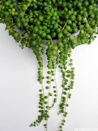 Our Favorite Plants How To by 25 Trending String Of Pearls Ideas On Pinterest House Plants