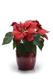 all about the beautiful poinsettia plant