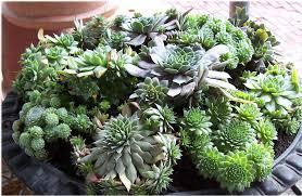 seedlings india cactus succulents buy cactus succulents