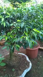 ficus black indoor plants plants online nursery