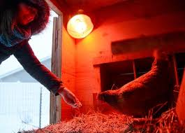 too cold for chickens authorities say heat lamps aren u0027t needed