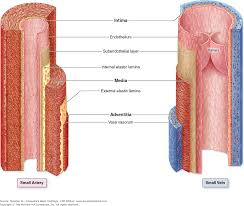 Anatomy And Physiology Chapter 11 Test Chapter 11 The Circulatory System Junqueira U0027s Basic Histology