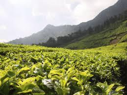 Seeking Tea Darjeeling Tea Planters Seek Assistance From Tea Board The