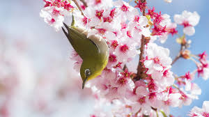awesome beautiful cherry blossom hd wallpaper free download