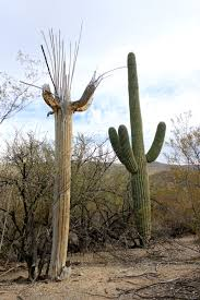 drystonegarden blog archive saguaro np and organ pipe cactus nm