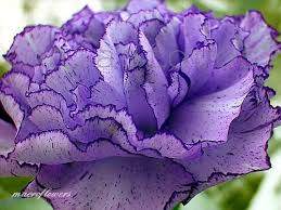 purple carnations 2 tone purple carnation whats not to like it s purple