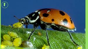 the biological control ladybug u003dladybird u003dlady beetle and