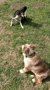 risk n hope australian shepherds articles archives professional dog walking and pet sitting in