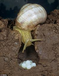 Where Can You Find Snails In Your Backyard White Caviar U0027 Is Britain Ready For Snails U0027 Eggs Daily Mail