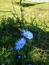 prekrasne modre travniške cvetlice so velikie cvetlice photo