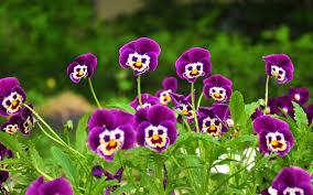 beautiful violet flowers wallpape top wallpapers