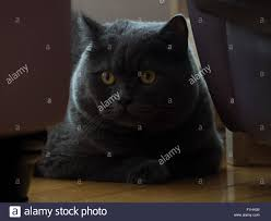 Blue Gray Color English Short Hair Cat In Blue Gray Color British Blue British