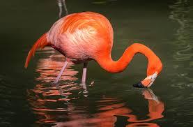 flamingo san diego zoo animals u0026 plants