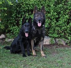 belgian shepherd victoria australia meet the qps calendar dogs centenary