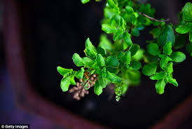 Herb Robert Pictures Getty Images Ten Herbs That Can Improve Your Health Daily Mail