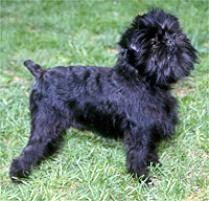 oldest affenpinscher adopt an affenpinscher dog breeds petfinder