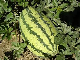 Growing Melons On A Trellis How To Grow Watermelons Part Ii Sunday Gardener